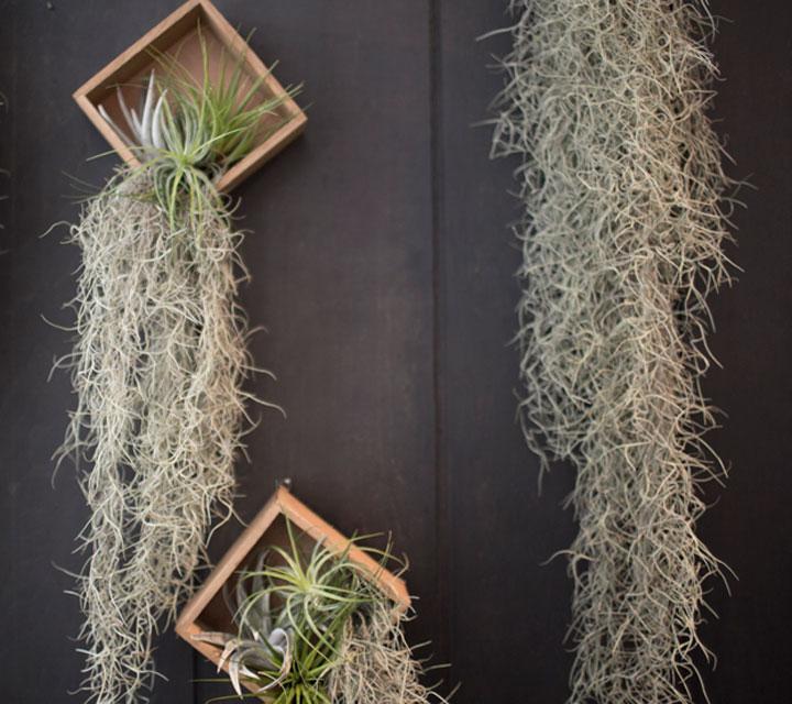 ハナトモの植物